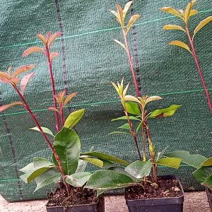 Photinia Red Robin alt. 30/50 cmk
